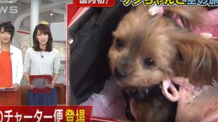 Cukiság a levegőben – kutyajárat indult Japánban