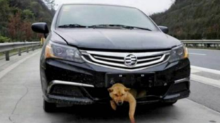 Kilométereket utazott észrevétlenül az elütött kutya