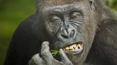 Jó ebédhez szól a nóta – így énekelnek evés közben a gorillák