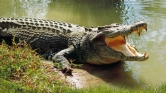 Krokodil ragadott el egy éjszakai fürdőzőt
