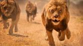 Oroszlánokkal akarta megöletni magát egy férfi – az állatkert járt pórul