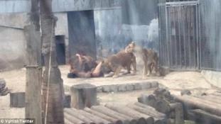 Jézus nevét kiáltotta a fiú, aki meztelenül az oroszlánketrecbe ugrott – képek