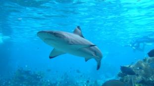 Cápatámadások sportolók ellen Ausztráliában és Kaliforniában