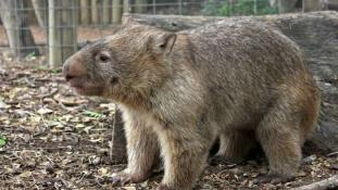 Egész Ausztrália gyászolja az öleléshiánytól depis vombatot