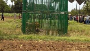 Oroszlánokat tartóztattak le Indiában