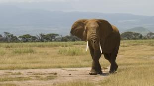 Megeheti-e az általa levadászott elefánt húsát egy képviselő?