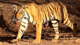 Tombol az orvvadászat Indiában
