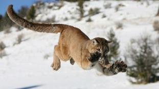Puma szájából mentette ki a kisfiát egy amerikai anyuka