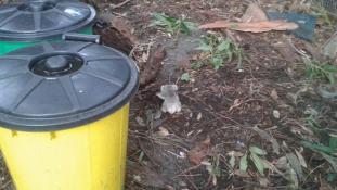 Az év cukisága – mini koalabébit mentettek meg a viharból Ausztráliában