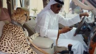Nem furikázhatnak már gepárddal az anyósülésen a nagyon gazdag arabok