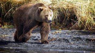 Míg ő szült, a rendőrök a medvékkel hadakoztak