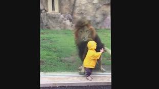 Farkasszemet nézett a kétéves egy oroszlánnal