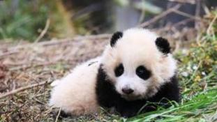 Két pici panda indul a vadonba
