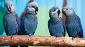 Öröm Rióban – kihaltnak hitt papagájfajta bukkant fel