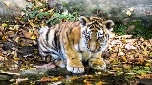 Tigrisbotrány – 500 dollár egy palack tigrisbor Kínában