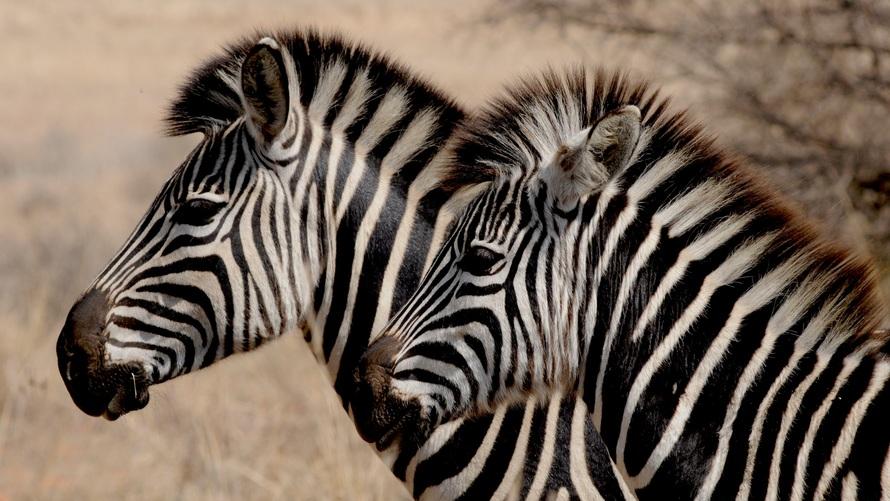 zebra-wild-animal-africa-stripes-large