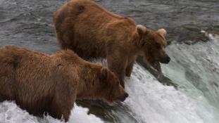 Nézzen inkább lazacot zabáló medvéket