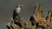 A mézkalauz madár vígan kommunikál az emberekkel Afrikában