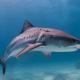 Megszaporodtak a cápák az amerikai partoknál