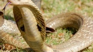 Élete árán mentette meg a családot a kobráktól a bátor kutya