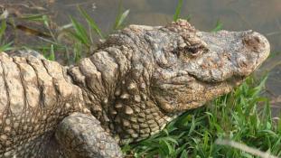 Száz aligátor szabadult el Kínában