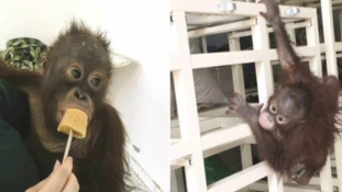 Elkobozták tulajdonosától a drogfüggő kuvaiti majmot