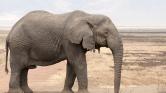 Már az orvvadászok sem könnyen találnak elefántot Afrikában