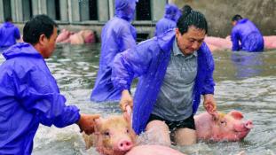 Fuldokolnak a malacok Kínában