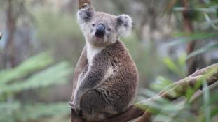 Napi cuki: a rúdtáncos koala