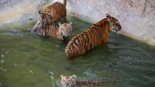 Halálra marta gondozónőjét egy tigris az állatkerti ketrecben Spanyolországban