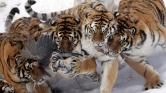 Kiszálltak a kocsiból – tigris ölt meg egy kiváncsi látogatót a szafariparkban Kínában