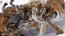 Kiszálltak a kocsiból – tigris ölt meg egy látogatót a szafariparkban