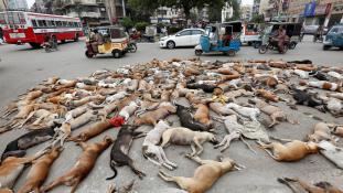 Hétszáz kutyát mérgeztek meg egyszerre Pakisztánban