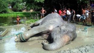 Hetekig sodródott a vízben a szerencsétlen elefánt