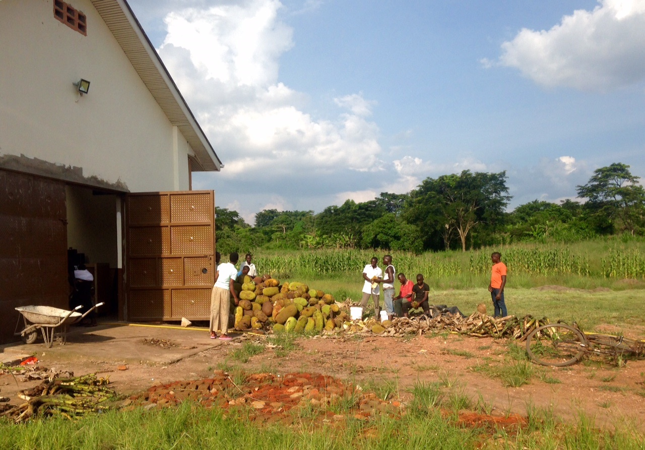 A magyar mintafarm egy része Ugandában. Itt készül a jackfruit-pálinka.