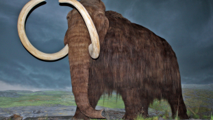 Mérföldkő a mamutklónozásban