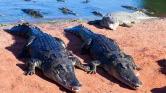 Három szegény krokodilus az iskola üres termeiben – videó
