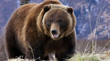 A kukák mellől lőttek ki kilenc medvét Brit-Kolumbiában