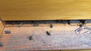 Milliónyi méh veszett oda a Zika elleni harcban