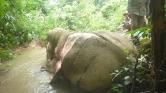 Már nemcsak a csontjukért gyilkolják az elefántokat Burmában