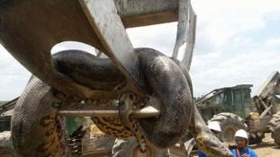 Állítólag több mint 400 kilós anakondát találtak Brazíliában (videóval)