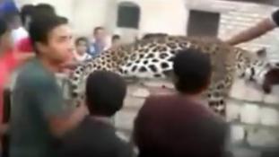 Elszabadult leopárd ölt meg egy 9 éves kislányt, de az öccsét nem bántotta – videó
