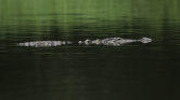 Bottal támadt a kutyáját megenni kívánó krokodilusra a merész gazdi – videó