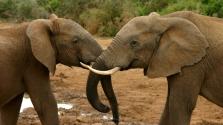 Nagyon fogynak az elefántok Afrikában