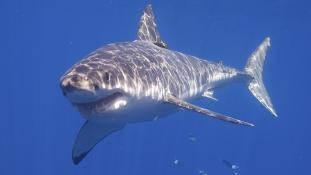 Támad a nagy fehér cápa – videó