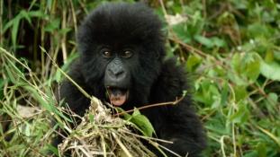 Csoportos névadó gorillabébiknek  – beszámoló Ruandából