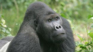 Kihal a legnagyobb majom – végveszélyben a keleti gorilla