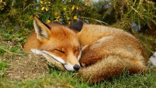 Így háziasították a rókát a szovjetek – először a világon