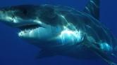 Túlélte a cápatámadást az ausztrál szörfös
