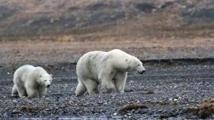 Északi rémálom: jegesmedvék fogságában a tudósok